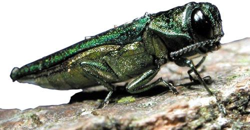 emerald ash borer 3